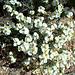 White desert flowers