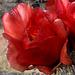 Cholla flower opening