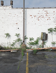 Gang of young urban ailanthus, unwelcome fireworks display.