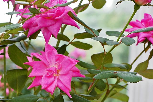 Pink Roses – New York Botanical Garden, New York, New York