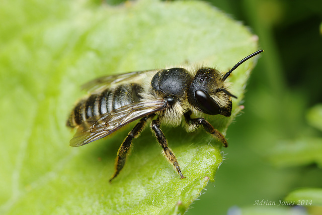 Solitary Bee (Megachile sp. ?)