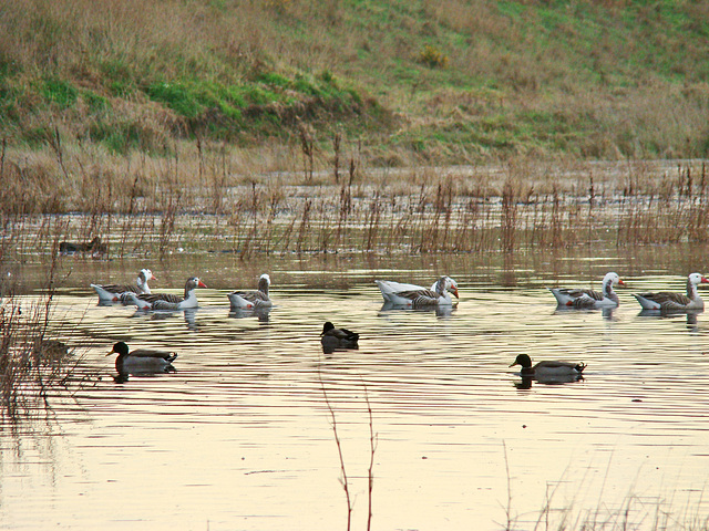 Ducks and geese at Timaru wetlands