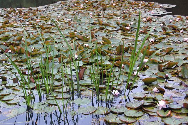 Nimfeoj kaj lagoherboj (Wasserrosen und Teichgräser)