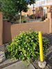 One of the famous beauteous Albuquerque honeysuckle bushes.