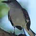 Northern Mockingbird - 5 March 2014