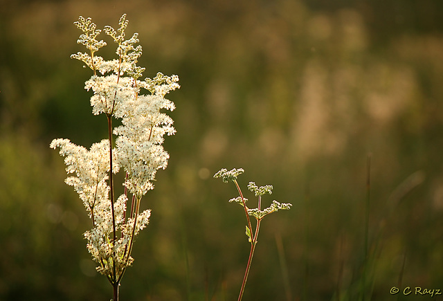 Meadow Sweet