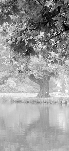 Kverko en nebulo (Eiche im Nebel)