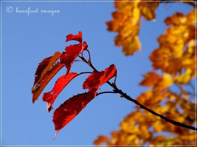 wild cherry tree on bornholm