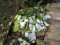 Doorstep decorative planting gets laid waste to.