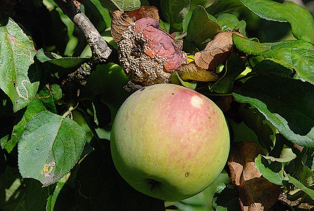 La pomme est un délicieux fruit , mais quand elle est pourrie , elle ne vaut pas le goût simple d'un concombre