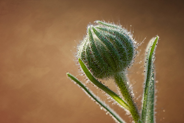 Tarweed Bud Glistening Droplets of Resin