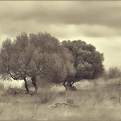 Azinheira, Encina, Quercus ilex