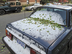 Volvo 240s get lightly coated in snow & ginkgo leaves.