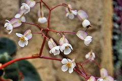Bloody Begonia – Botanical Garden, Montréal, Québec