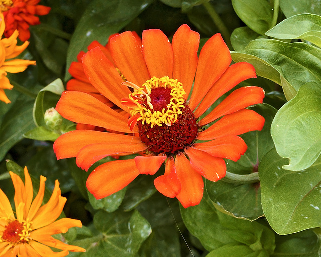 Orange Zinnia – New York Botanical Garden, New York, New York