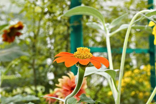 Zinnia and Bokeh – New York Botanical Garden, New York, New York