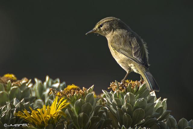 Mosquitero canario, Phylloscopus canariensis.