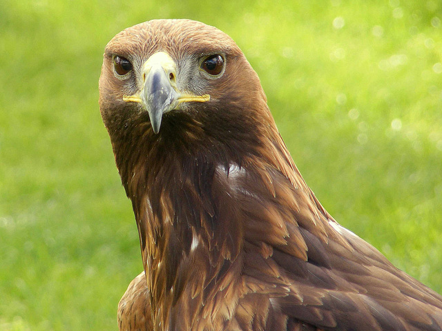 Boris The Golden Eagle