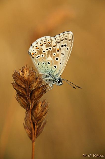 Chalkhill Blue Male Friston