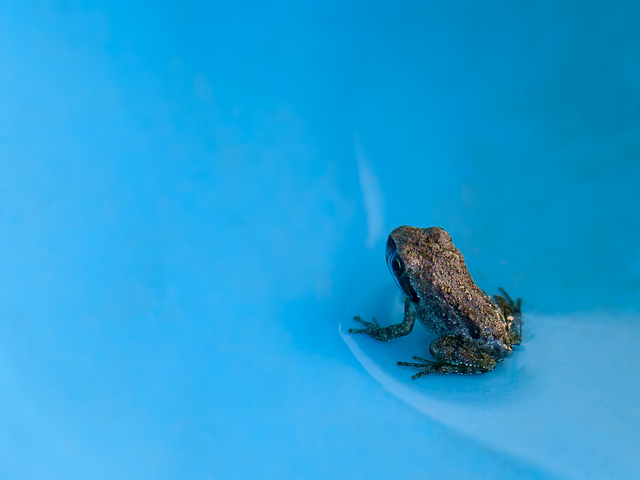 "Littlest Babiest Froglet, Only 1/4"" in Size!"
