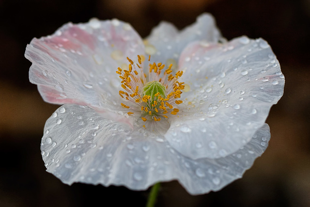 Beautiful White & Blush Poppy