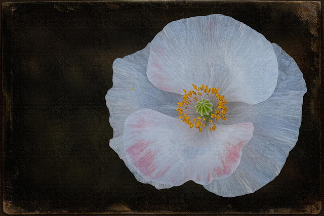 Textured Poppy, Dedicated to Jerry Jones! (SkeletalMess on Flickr)
