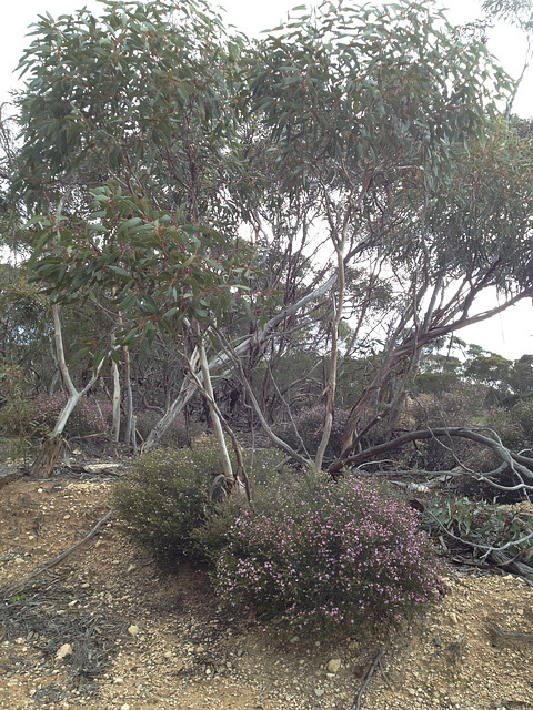 Gums and Boronia