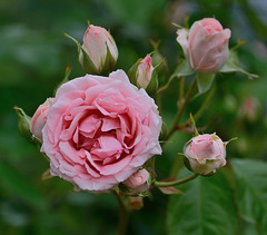 Rose et boutons...