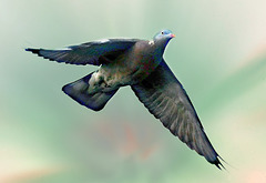 Wood pigeon in flight.