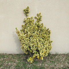 A shrub of a plantbreed that over the years has come to be super-heavily and ultra-widely used in U.S. landscaping projects at gas stations and motels — because people love how it looks!