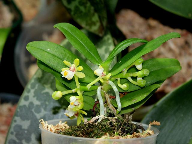 Gastrochilus japonicus (4)