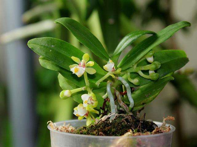 Gastrochilus japonicus (5)