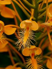 Platanthera ciliaris (Yellow fringed orchid) closeup