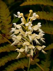 Platanthera xlueri (hybrid fringed orchid)