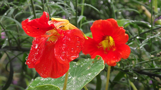 Nasturtiums in the drizzle