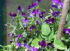 Violas round trunk