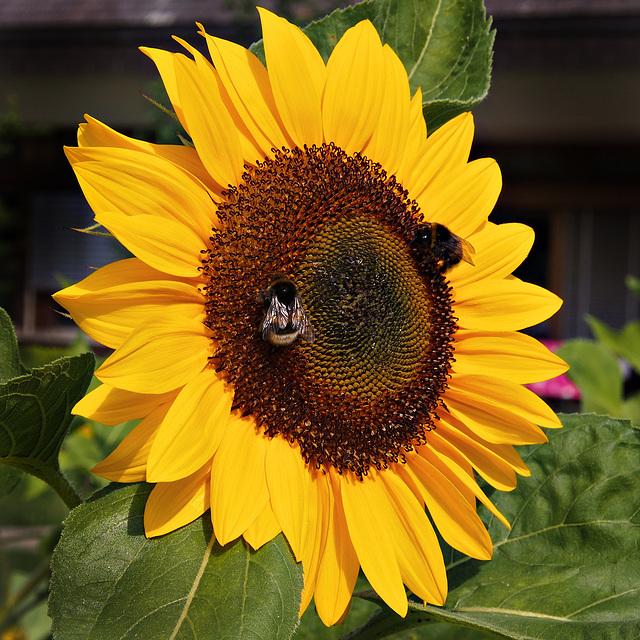 Sonnenblume mit Gästen ~