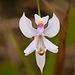 Calopogon pallidus (Pale Grass-pink orchid)