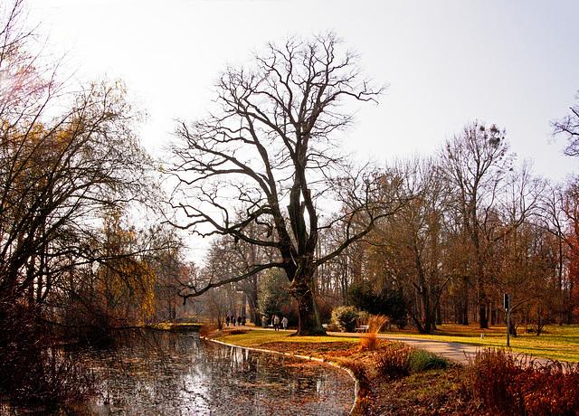 Alte Eichen im Großen Garten