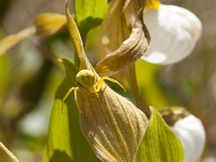 Cypripedium montanum x parviflorum hybrid lady's-slipper orchid with crab spider