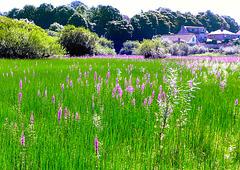 Wild flowers at Foulridge.