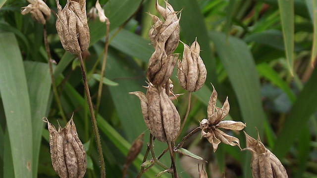 seed pods of the aqualegia