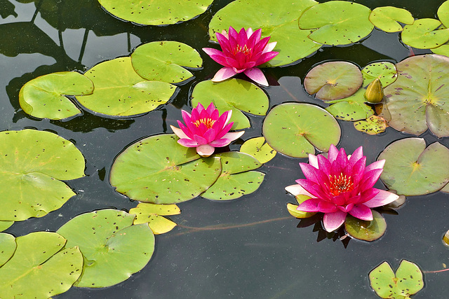 """Laydekeri Fulgens"" Waterlily – New York Botanical Garden, New York, New York"