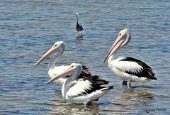 Trio of Pelicans at Altona Beach