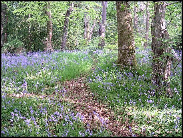 bluebells in Budshead Wood
