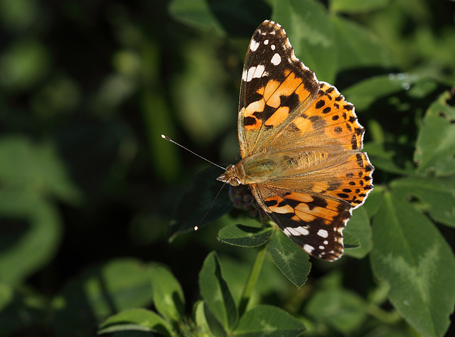 Painted Lady (Cynthia cardui) butterfly