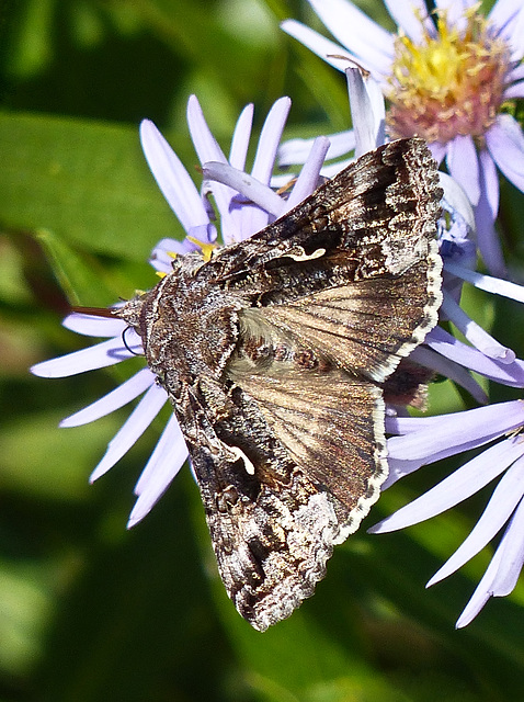 Alfalfa Looper, Autographa californica