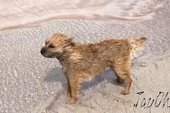 A Wind Blown Terrierist On Balnakeil Beach