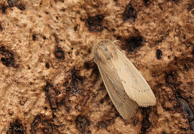 Obscure Wainscot