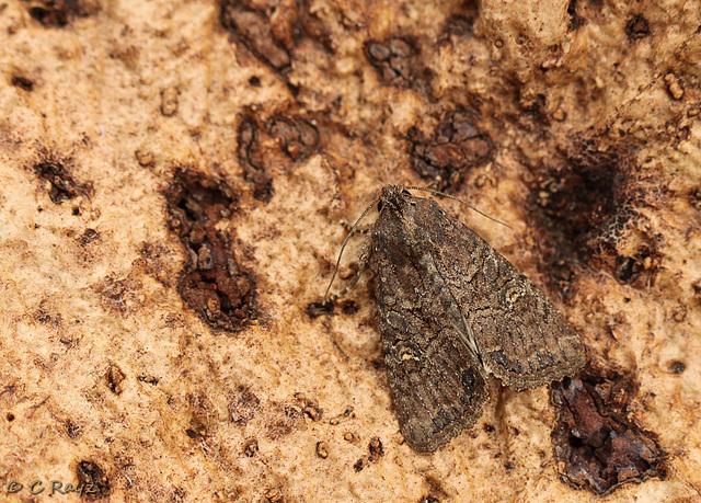 Lesser Common Rustic
